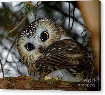 Northern Saw-whet Owl In A Tree Canvas Print by Rebecca Warren