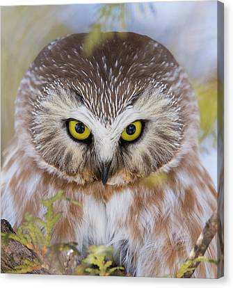 Canvas Print featuring the photograph Northern Saw-whet Owl Portrait by Mircea Costina Photography