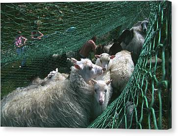 Norway, Sheeps In Net, Close-up Canvas Print by Keenpress