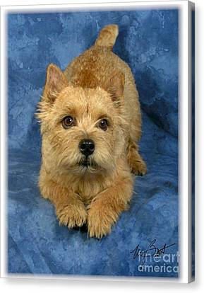 Norwich Terrier Pup Canvas Print by Maxine Bochnia