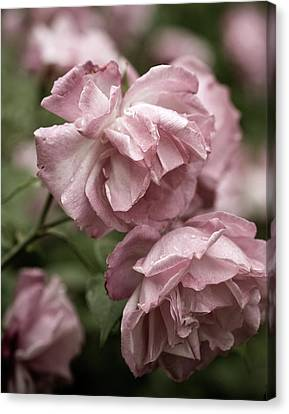 Canvas Print featuring the photograph Nostalgic Roses by Frank Tschakert