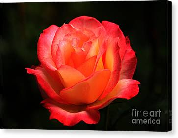 Not A Second Hand Rose Canvas Print by James Eddy