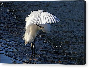 Not Under Here - Birds - Snowy Egret Canvas Print by HH Photography of Florida