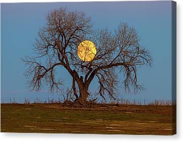 November Supermoon Tree Canvas Print by James BO Insogna