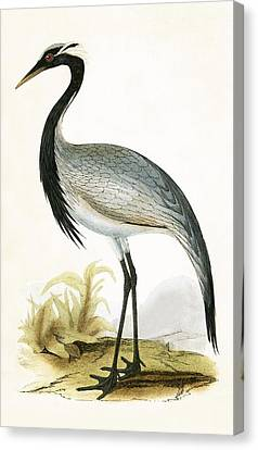 Numidian Crane Canvas Print by English School