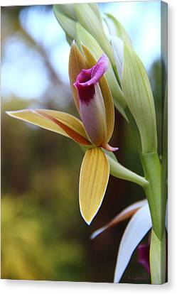 Nun's Cap Orchid - 1 Canvas Print