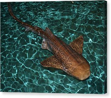 Nurse Shark Canvas Print by Mary Zeman