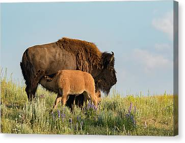 Nursing Bison Family Canvas Print by Andrew Wells