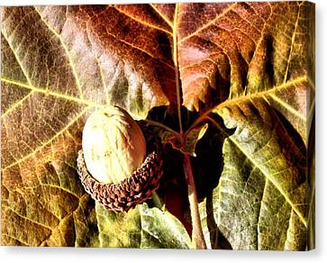 Nut On A Leaf Canvas Print by Karen Scovill