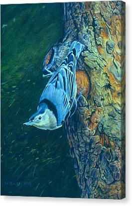 Nuthatch Canvas Print by Bob Nolin
