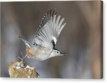Canvas Print featuring the photograph Nuthatch In Action by Mircea Costina Photography