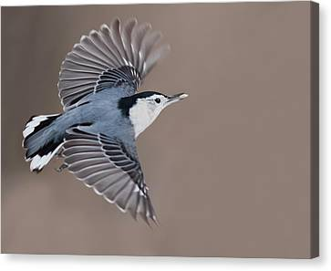 Canvas Print featuring the photograph Nuthatch In Flight by Mircea Costina Photography