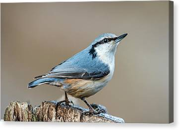 Nuthatch's Pose Canvas Print by Torbjorn Swenelius