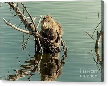 Canvas Print featuring the photograph Nutria On Stick-up by Robert Frederick