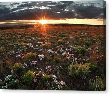 Canvas Print featuring the photograph Nuttalls Linanthastrum by Leland D Howard