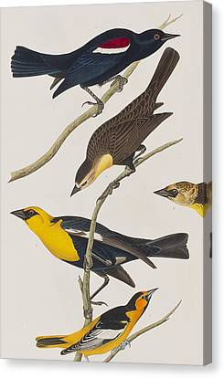 Nuttall's Starling Yellow-headed Troopial Bullock's Oriole Canvas Print by John James Audubon