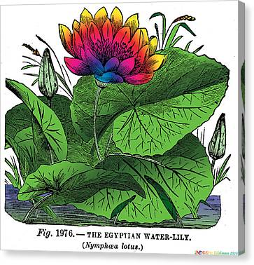 Nymphaea Canvas Print by Eric Edelman