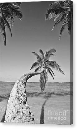 Oahu Palms Canvas Print by Tomas del Amo - Printscapes