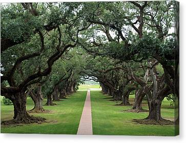 Oak Alley Canvas Print by Peter Verdnik
