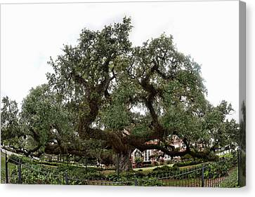 Canvas Print featuring the photograph Oak by Cecil Fuselier