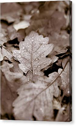Oak Leaf Canvas Print by Frank Tschakert
