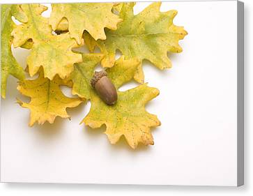 Oak Leaves And Acorns Canvas Print by Utah Images