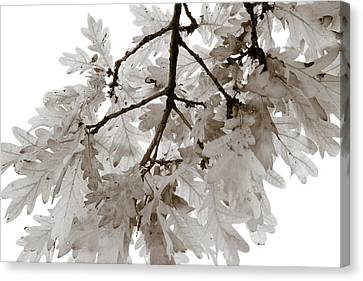 Oak Leaves Canvas Print by Frank Tschakert