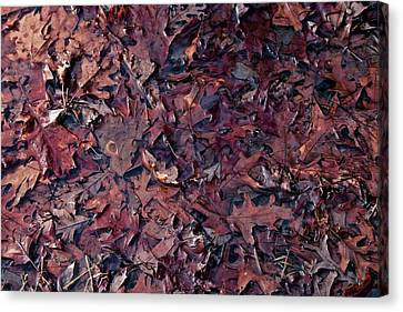 Oak Leaves Steeping Canvas Print