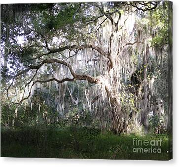 Oak Tree And Spanish Moss, Circle B Bar Reserve, Lakeland, Florida Canvas Print by Felix Lai