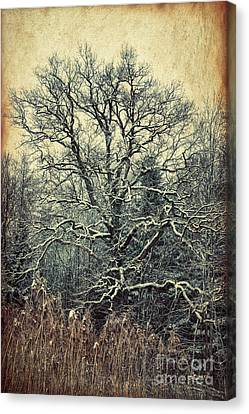 Oak Tree In Winter Canvas Print by Jutta Maria Pusl