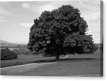 Oak Tree - Killarney National Park Canvas Print by Aidan Moran