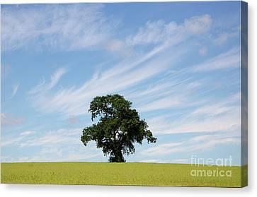 Oak Tree Landscape Canvas Print by Steev Stamford