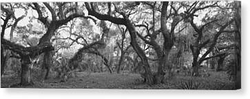Oak Trees In A Forest, Lake Kissimmee Canvas Print by Panoramic Images