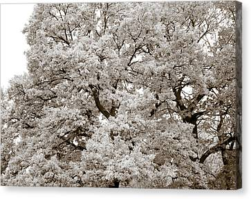 Oaks Canvas Print by Frank Tschakert