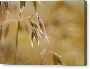 Cornfield Canvas Print - Summer Oat by Nailia Schwarz