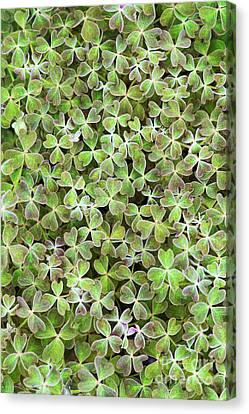 Oca Leaves Canvas Print by Tim Gainey