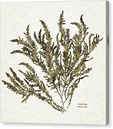 Ocean Seaweed Plant Art Ptilota Sericea Square Canvas Print by Christina Rollo