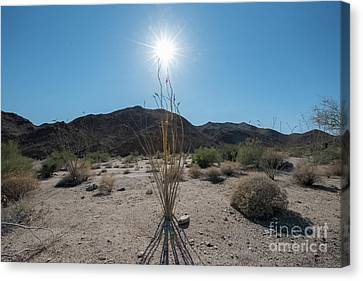 Ocotillo Glow Canvas Print