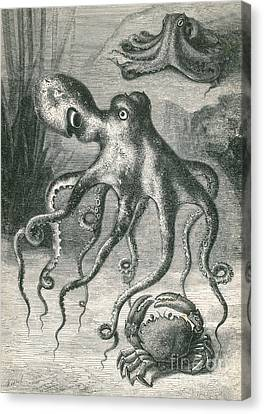 Octopi And Crab, 1833 Canvas Print by Science Source