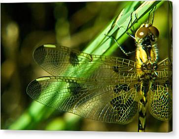 Dragonfly Eyes Canvas Print - Odanate Wing by Douglas Barnett