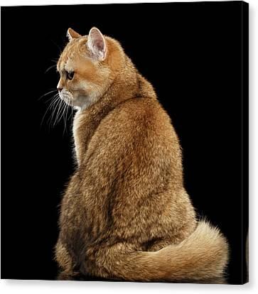 offended British cat Golden color Canvas Print by Sergey Taran