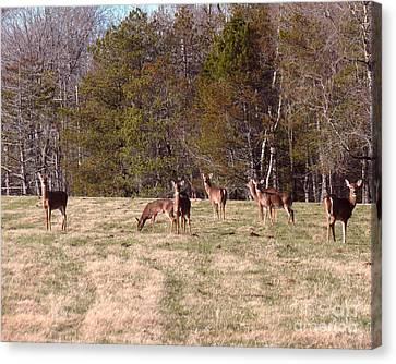 Oh Deer Canvas Print by Donna Cavanaugh