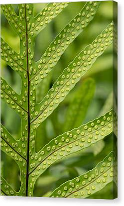 Oh Fern Canvas Print by Christina Lihani