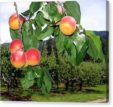 Okanagan Apricots Canvas Print by Will Borden
