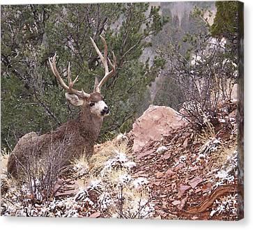 Mule Deer Buck Canvas Print - Old Buck by Ernie Echols
