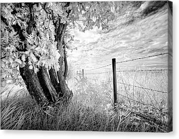 Old Cedar And Barbed Wire Canvas Print by Dan Jurak