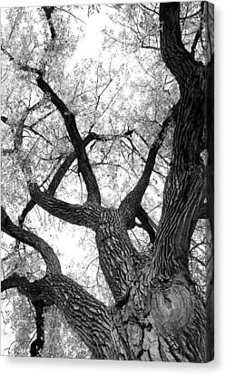Old Cottonwood Tree Canvas Print by James BO  Insogna