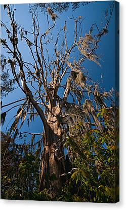 Old Cypress Canvas Print by Christopher Holmes
