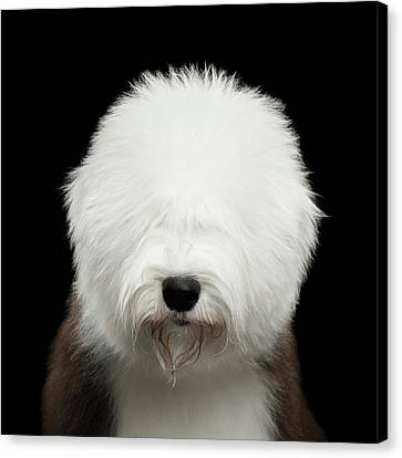 Old English Sheepdog Bobtail Canvas Print
