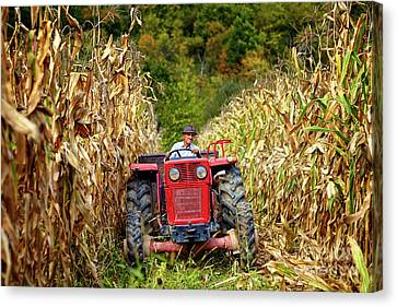 Old Farmer Driving The Tractor In The Cornfield Canvas Print